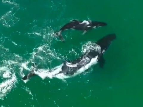 baleine-dauphin-drone